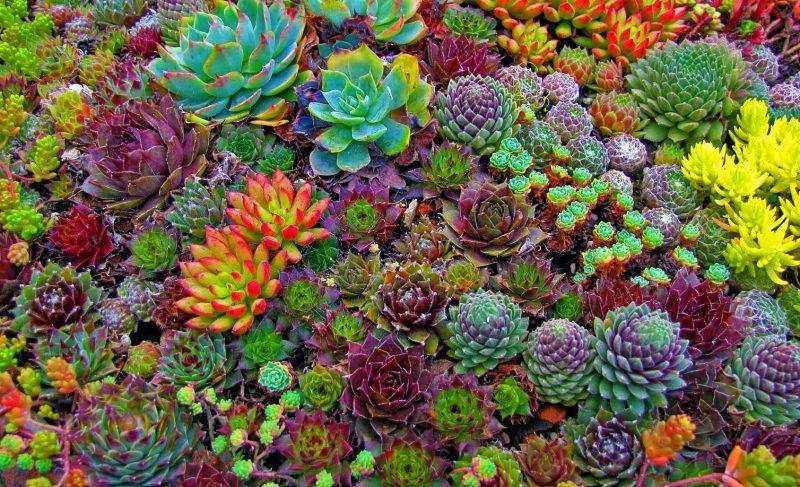 Succulents 2 800x487