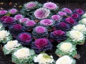 cabbage-patch-ornamental