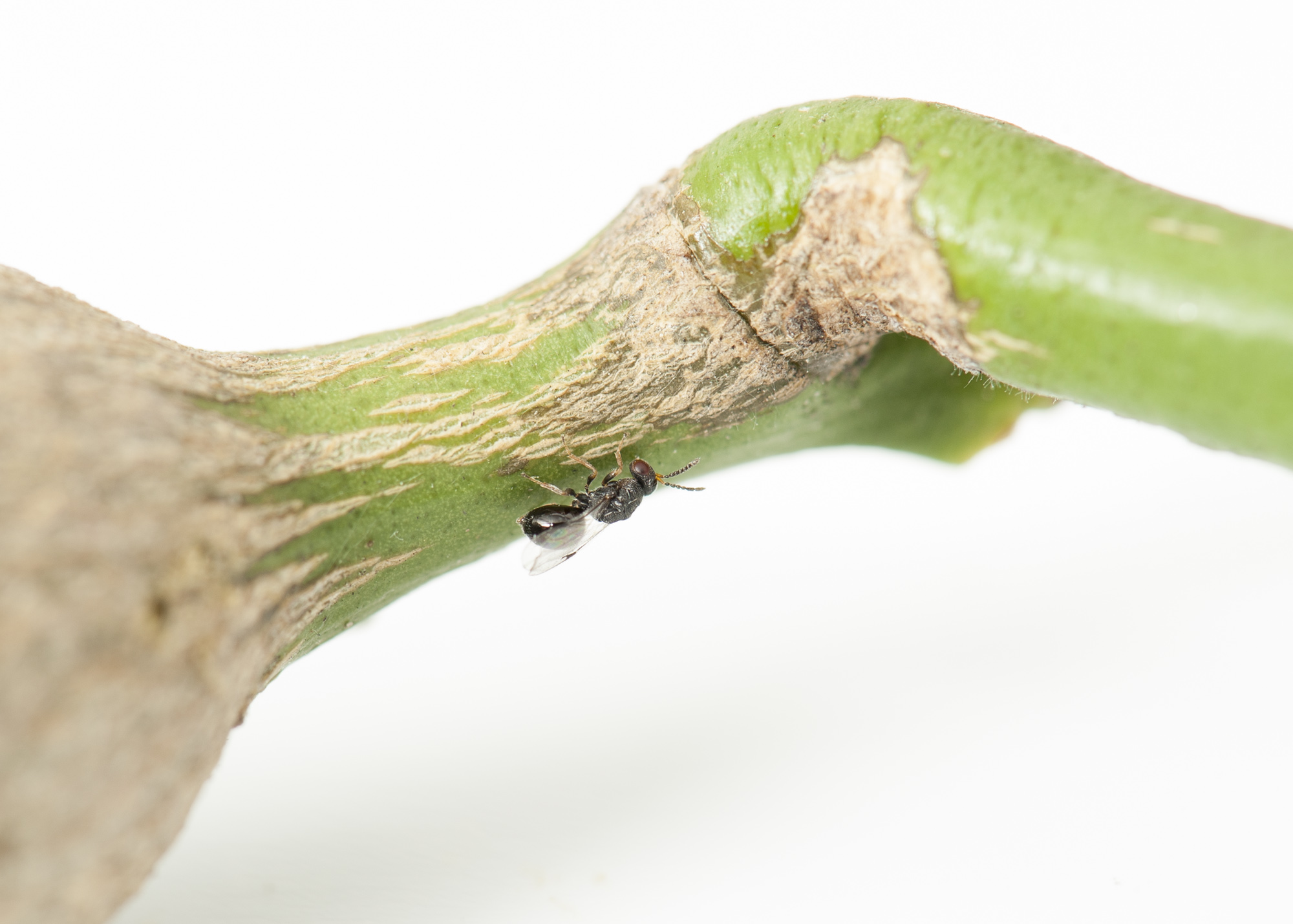 Citrus Gall Wasp Jimsmowing Com Au