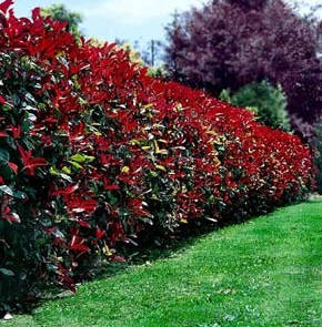photinia_robusta_large-290x295
