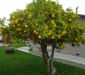 Our Recommendations for the Best Backyard Citrus Trees