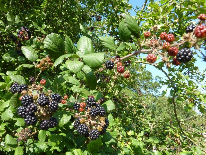How to Kill Off Blackberries