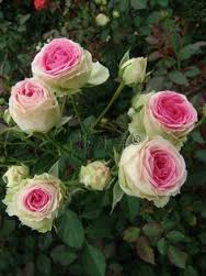 Pruning Your Roses Ready for Spring