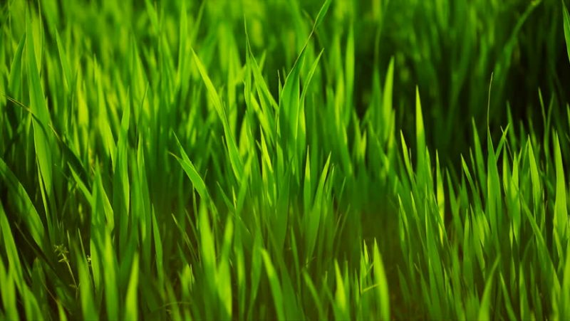 6 Popular Australian Lawns & Grasses