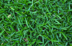 Can You Grow Buffalo Grass from Seed?
