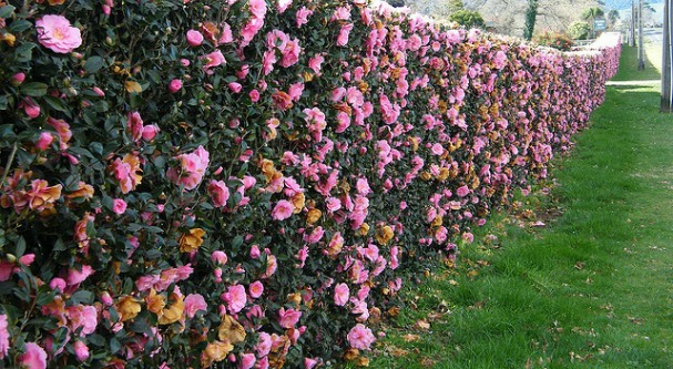 Camellia-Hedge Camellia As Houseplant on