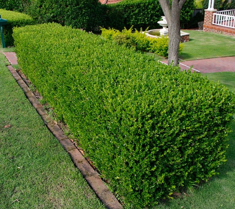 Common Types Of Plants Used As Hedges Jim S Mowing Nz