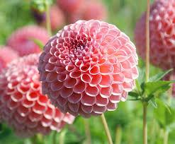5 Most Popular Autumn Flowering Plants Jimsmowing Com Au