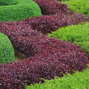 The Best Plants To Use For Hedging