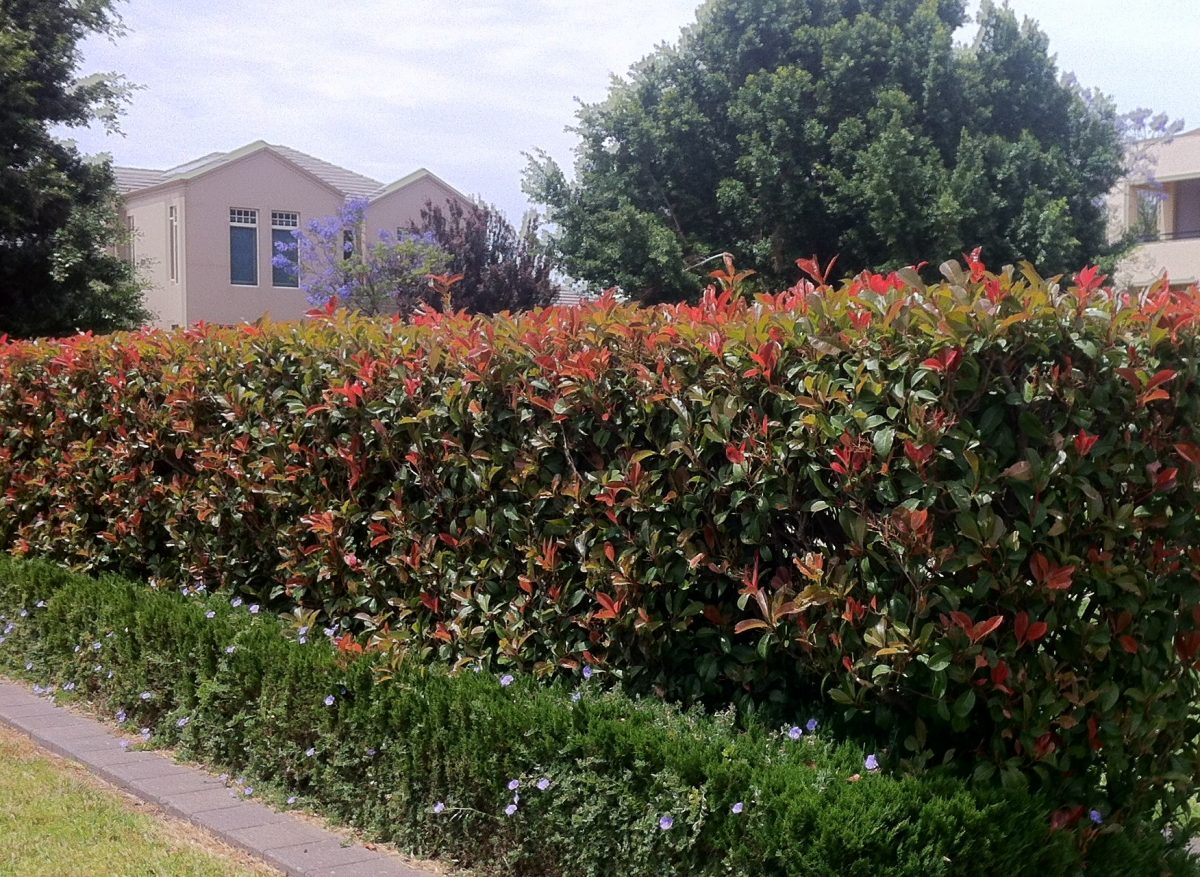 Lilly Pillys are evergreen summer flowering, and winter fruiting trees often used at hedges