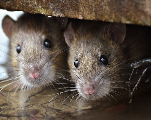 Rats Love Yard Rubbish: Tips To Keep Them Away