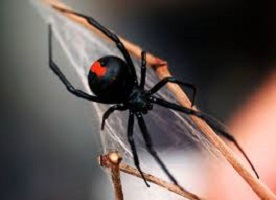 red back spiders are a common garden danger in Australia