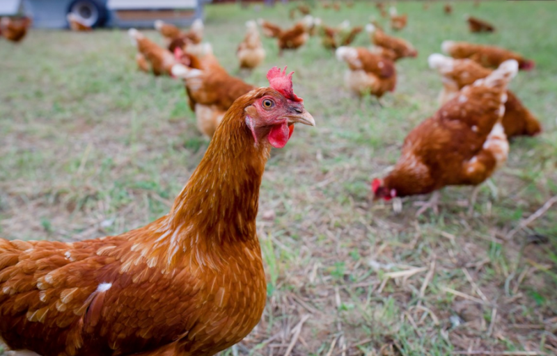 Keeping Chickens as Pets in Residential Areas