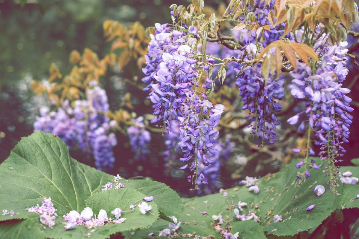 Wisteria in bloom above some big, green leaves