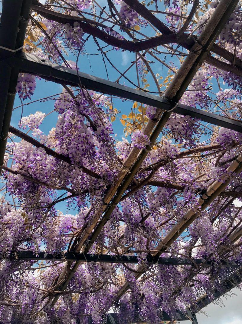 Wisteria growing on an overhead lattice