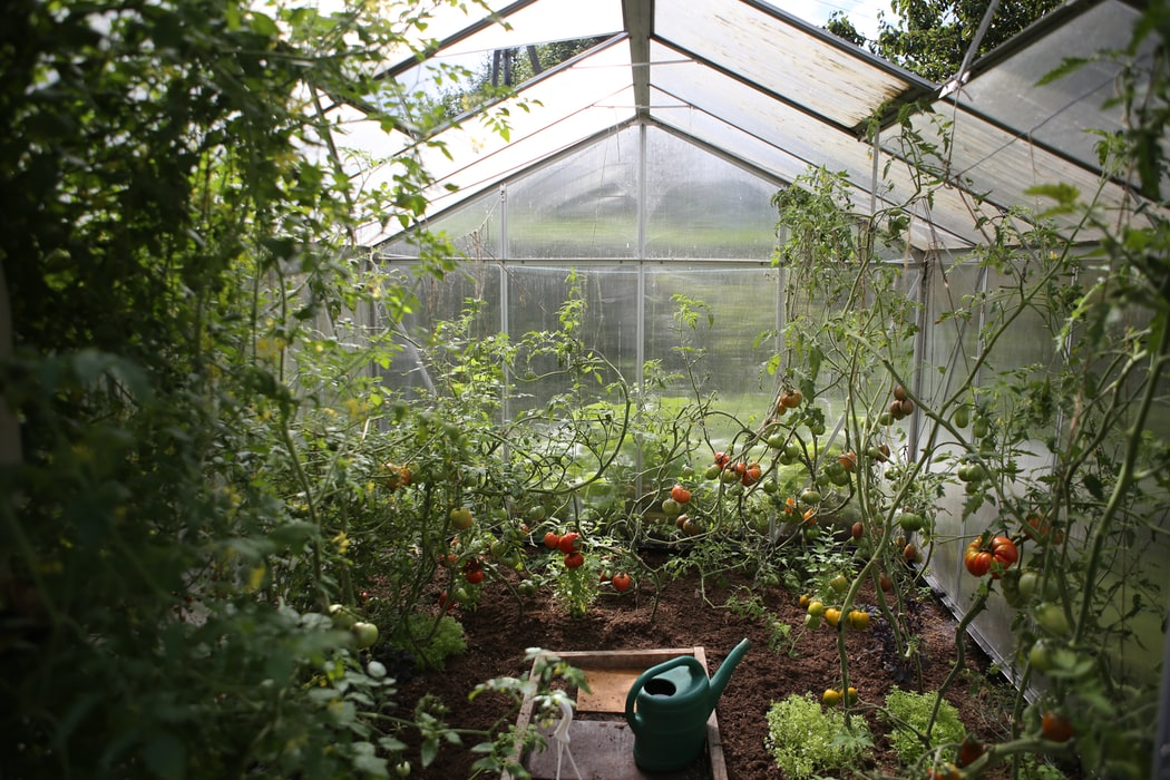 Tomatoes inside Greenhouse