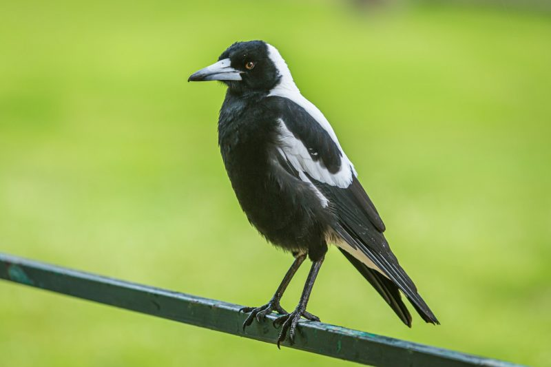 When is Magpie Swooping Season?