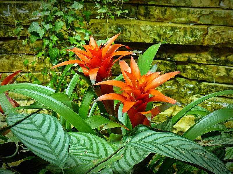 How to Grow Bromeliads